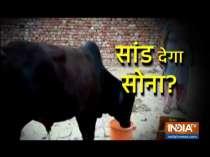 Haryana: Stray bull swallows gold jewellery, family waits for animal to excrete it