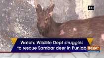 Watch: Wildlife Dept struggles to rescue Sambar deer in Punjab