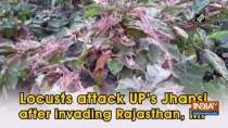 Locusts attack UP