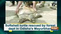 Softshell turtle rescued by forest dept in Odisha