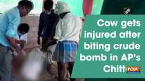 Cow gets injured after biting crude bomb in AP
