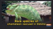 Rare species of chameleon rescued in Odisha