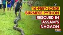 16-feet-long Burmese python rescued in Assam