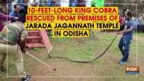 10-feet-long King Cobra rescued from premises of Jarada Jagannath Temple in Odisha
