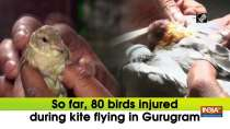 So far, 80 birds injured during kite flying in Gurugram