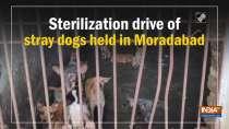 Sterilization drive of stray dogs held in Moradabad