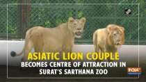 Asiatic Lion couple becomes centre of attraction in Surat