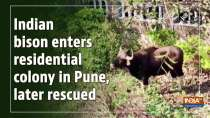 Indian bison enters residential colony in Pune, later rescued