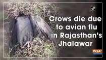 Crows die due to avian flu in Rajasthan