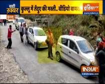Watch: Wild leopard gels up with people on Kullu road