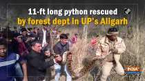 11-ft long python rescued by forest dept in UP