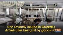 Lion severely injured in Gujarat
