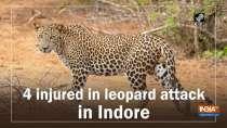4 injured in leopard attack in Indore