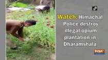 Watch: Himachal Police destroy illegal opium plantation in Dharamshala