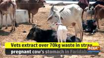 Vets extract over 70kg waste in stray pregnant cow