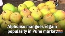 Alphonso mangoes regain popularity in Pune market