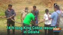 14-ft-long King Cobra rescued in Odisha