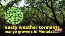 Gusty weather torments mango growers in Moradabad