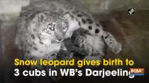 Snow leopard gives birth to 3 cubs in WB