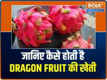 Get to know about the farming of dragon fruit