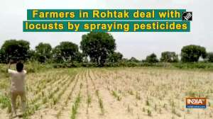 Farmers in Rohtak deal with locusts by spraying pesticides