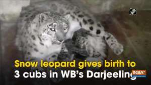 Snow leopard gives birth to 3 cubs in WB's Darjeeling